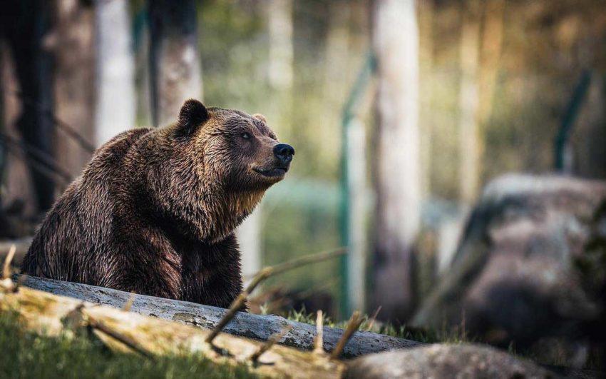 Brasov, la ciudad de los osos.